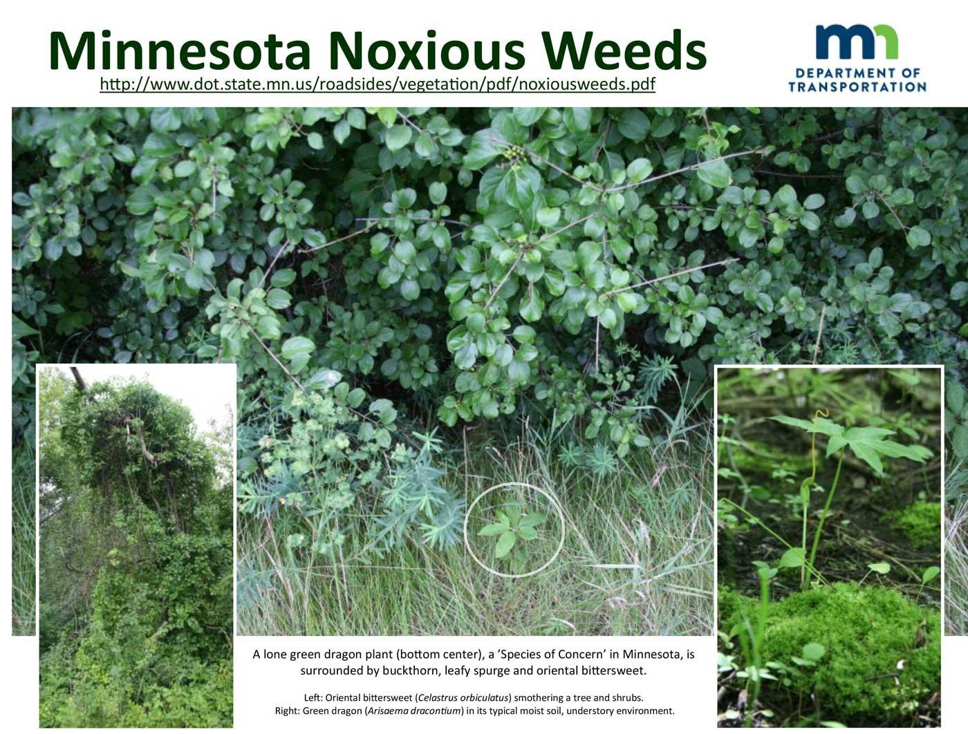 minnesota-noxious-weeds